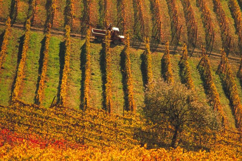 Harvest Time near Treiso, Piedmont, Italy