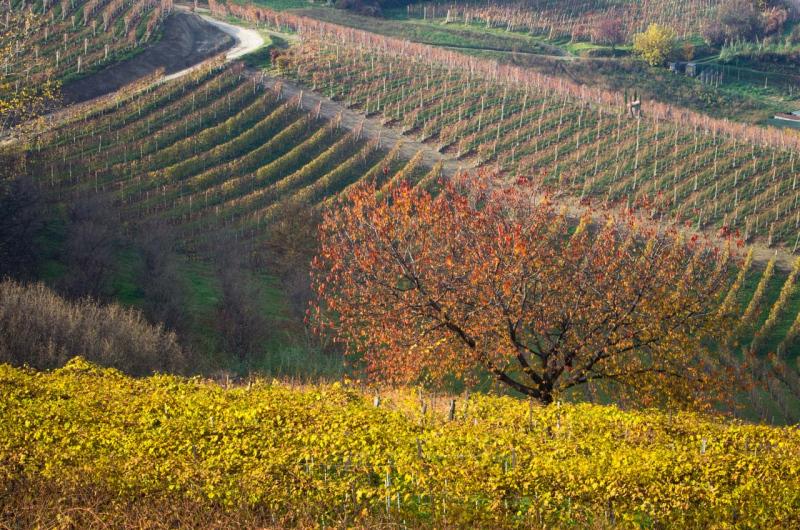 Soft autumn light on hillside vineyards near Castiglione Falletto.