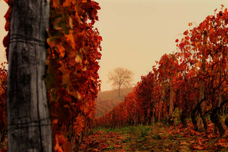 Barbera Fall Vineyard landscape - near Costigliole d'Asti - Piedmont, Italy.  Old barbera vines turn red in Fall with a single tree on the horizon.  1998