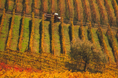 Harvest Time near Treiso, Piedmont, Italy